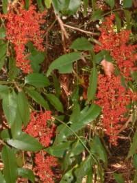 Rhodosphaera rhodanthema