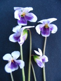 Viola hederaceae